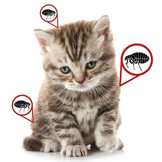 small, sad kitten with graphic notes pointing to fleas