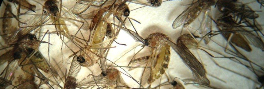 Picture of several mosquitos under a microscope